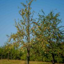 alte Apfelbaumsorten in Michelbach