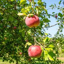leckere Äpfel in Michelbach