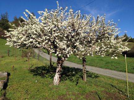 Shiro plum tree in bloom