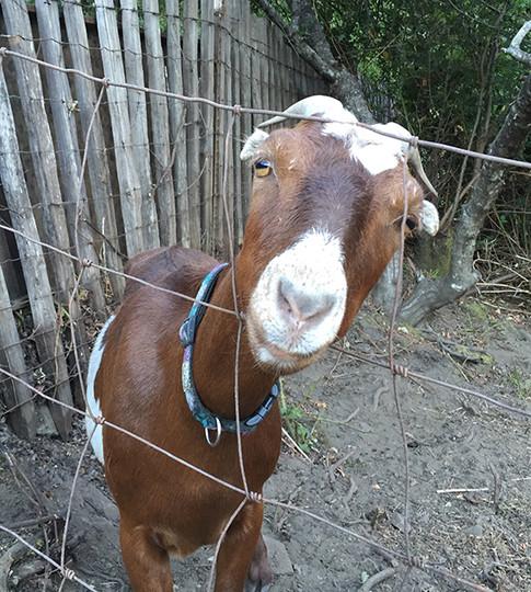 Ruby, a La Mancha goat