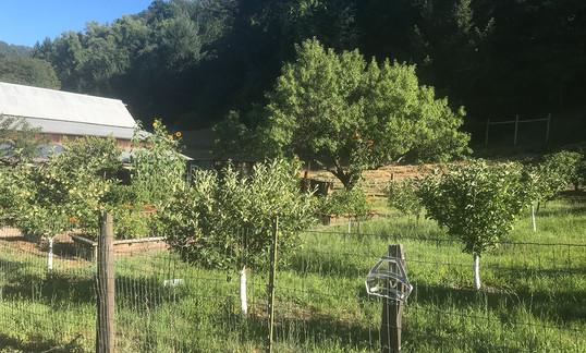 Fruit trees in vegetable garden