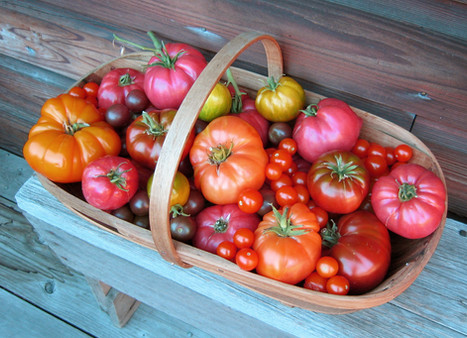 Tomatoes and more tomatoes...