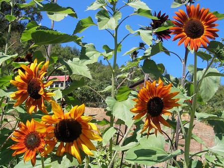 Orange and red sunflowers
