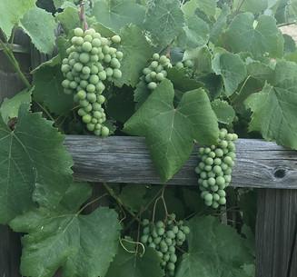 Table grapes still green...