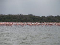 Guajira Flamingos