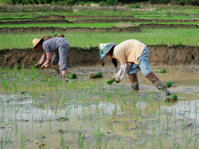 transplanting rice seedlings