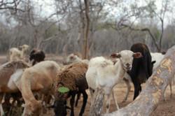 Dividivi Village goat herd