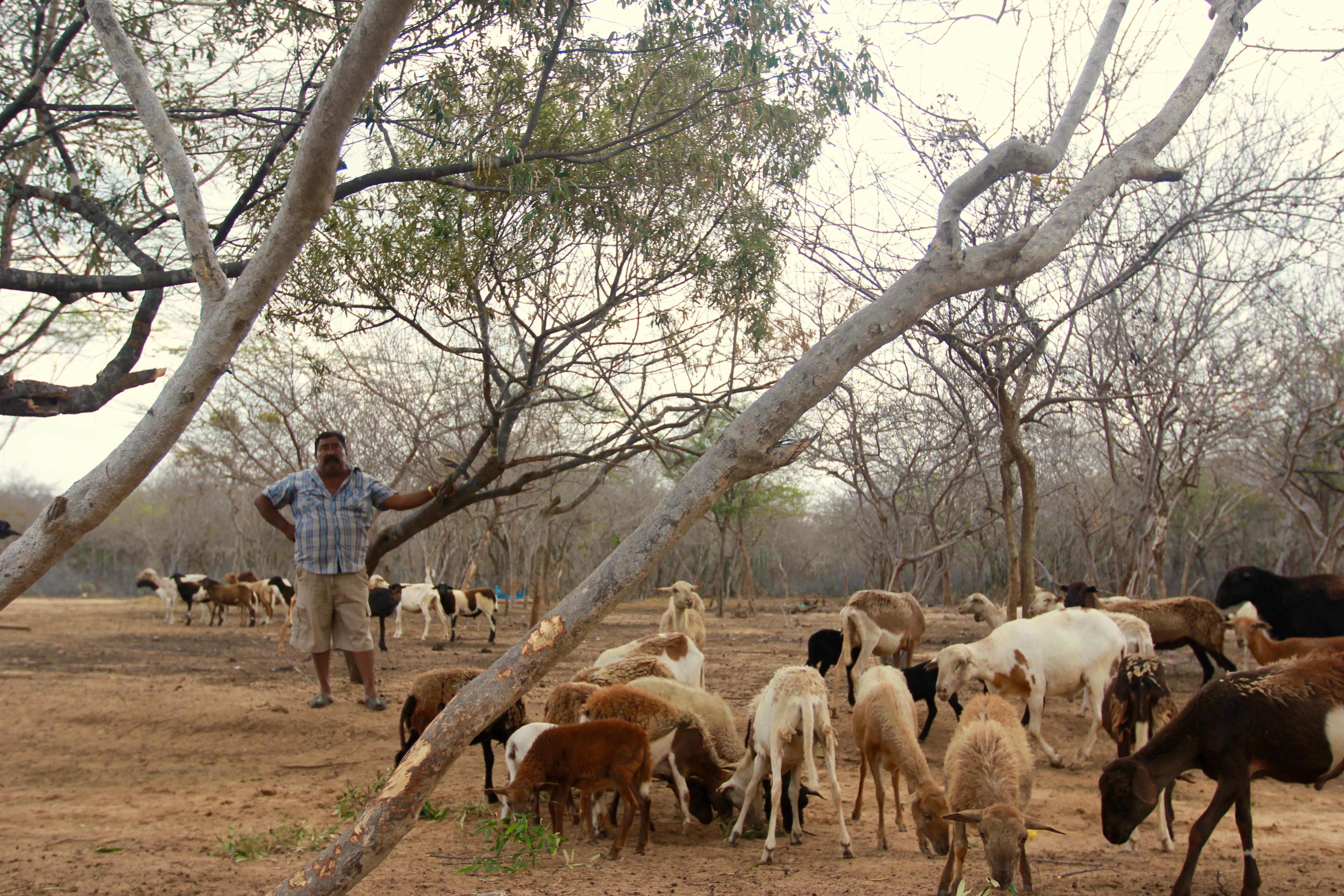 Abram's goats
