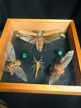 Insect Taxidermy in Shadow Box