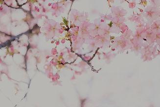 pink%20cherry%20blossom%20flower_edited.jpg