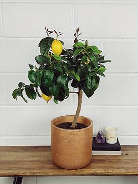 citrus.png
