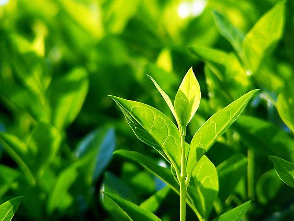 UK_tea-plant-leaves-growing.jpg
