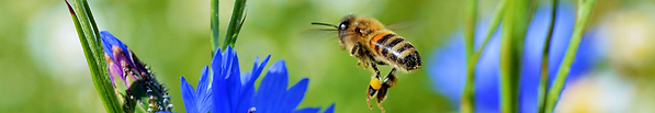 Top 10 plants for bees _ Thompson & Morgan-2.png