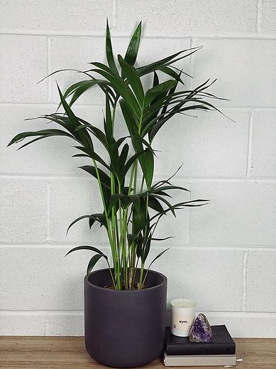 Kentia Palm (Howea Forsteriana) .png