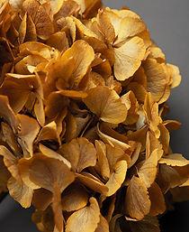 saffron-hydrangea.jpg