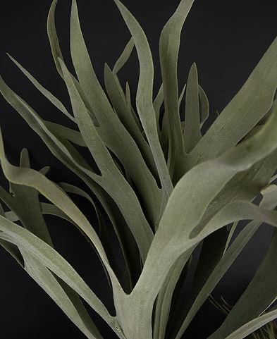large-staghorn-fern-close.jpg