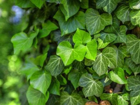 green-ivy-covering-400x300.jpg