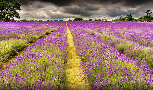 Mayfield Lavender Farm.png