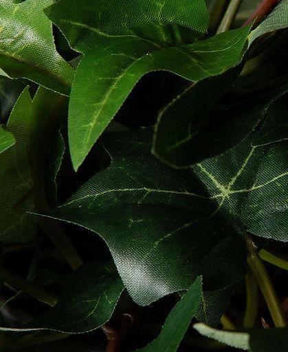 Ivy-Close-Up.jpg