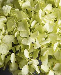 Pistachio-Hydrangea-Close-Up.jpg