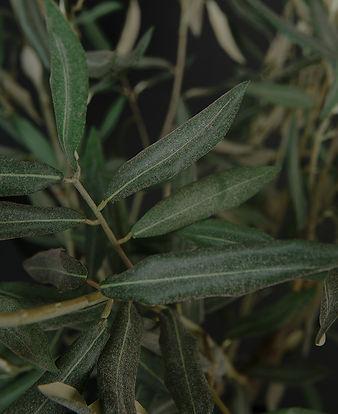 olive-tree-closeup.jpg
