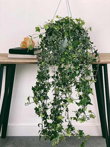 English Ivy.png