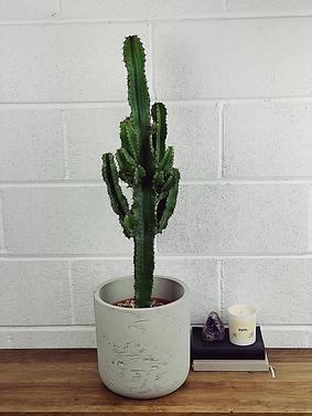 Euphorbia.png
