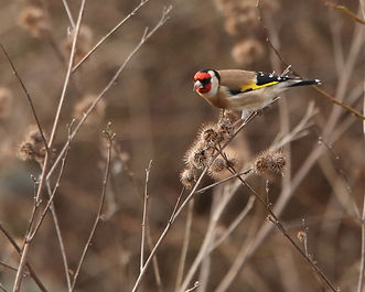 WW Goldfinch.JPG