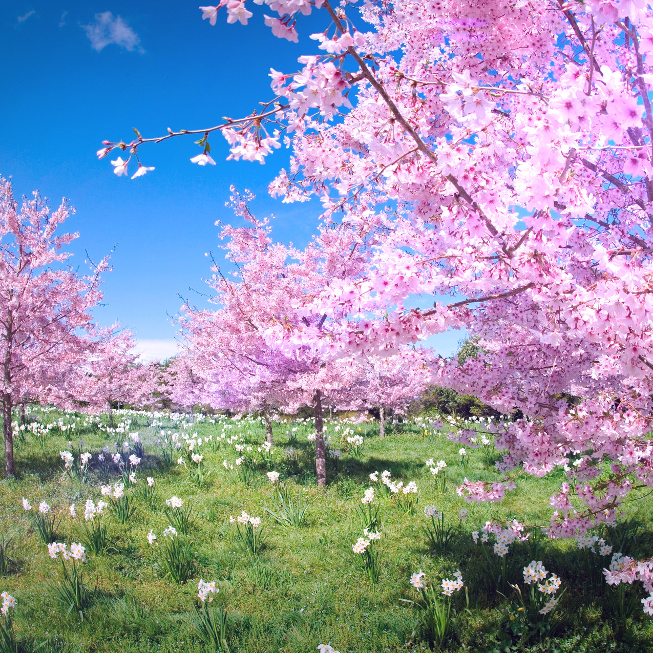 spring-blossom-valley-primus-pink-cloud