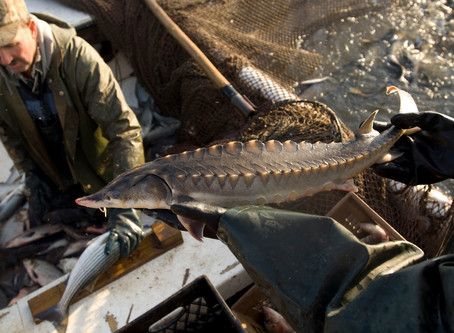 Sturgeon Tracking Funded for Nanticoke