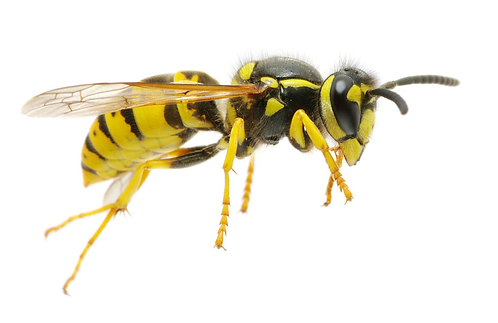 Hornets / Wasps
