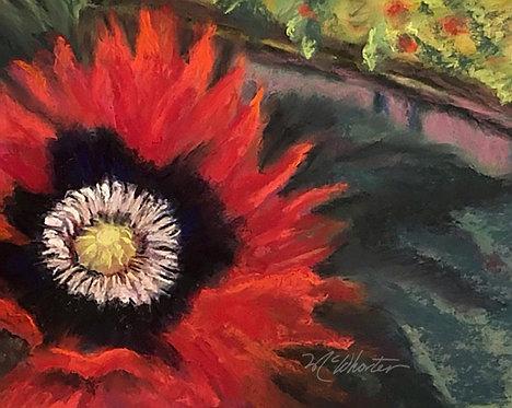 Garden Oriental Poppy