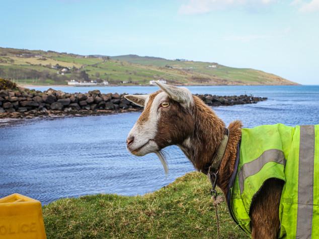 Johann the Goat