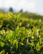 Tea Tree plant.jpg