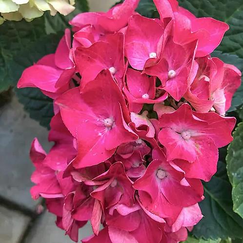 гортензия Saxon Bright Red