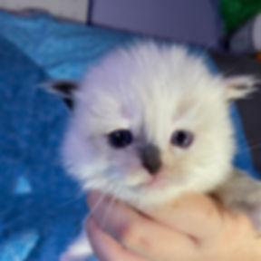 kitten 1 female seal mitted tortie.jpg