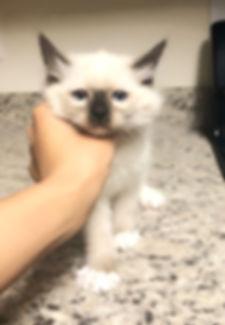 kitten 2 cookie.jpg