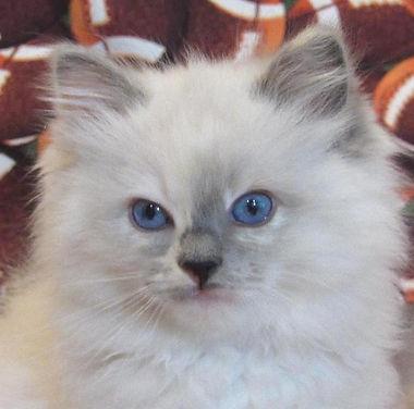 kitten 6 female.jpg