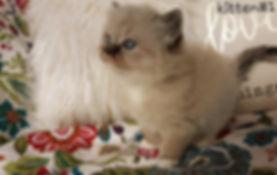 kitten 1 lap.jpg