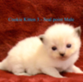cookie kitten 3.jpg