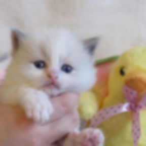kitten 5 lp.jpg