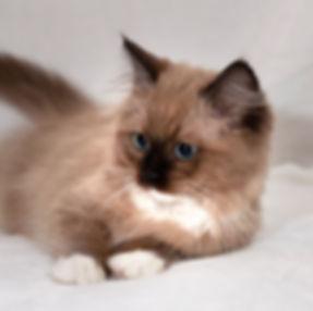kitten 1 female vayda.jpg