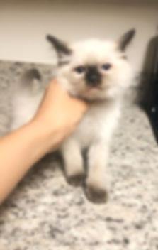 kitten 1 cookie.jpg