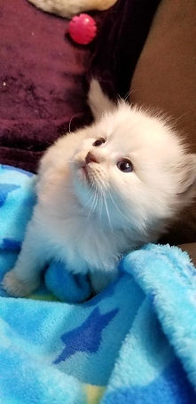 kitten 1   4 LP.jpg