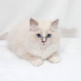 kitten 2 male vayda.jpg
