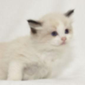 kitten 3 male.jpg