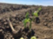 Green bean seedlings emerging on May long weekend