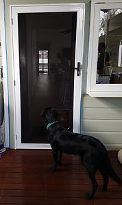 Larger dog learns how to use a pet door