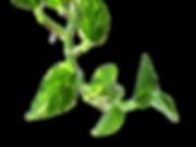Vine_Money_plant_edited.png