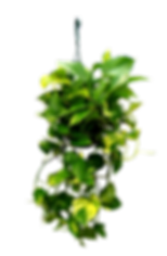 8in-hanging-golden-pothos_edited.png